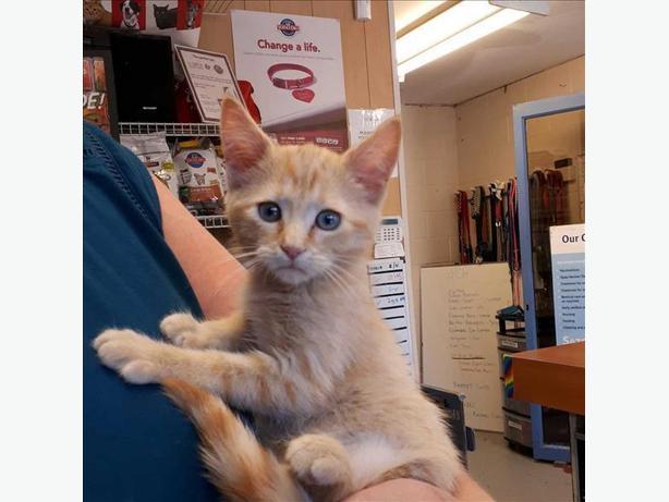 Neena - Domestic Medium Hair Kitten
