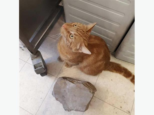 Ginger - Domestic Short Hair Cat