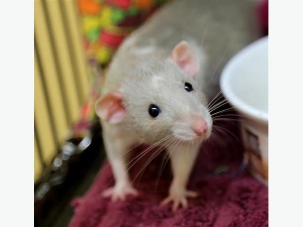 Pinky - Rat Small Animal