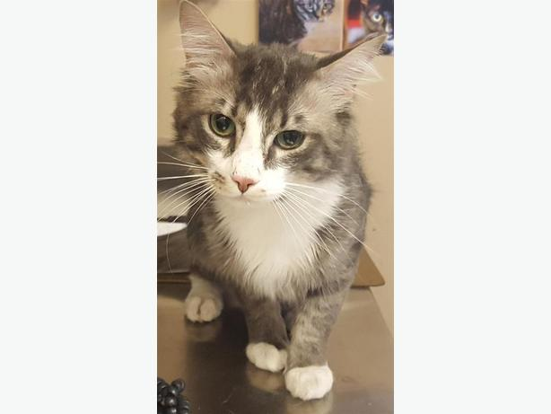 Pringles - Domestic Medium Hair Cat