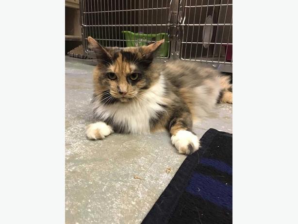 Callie - Domestic Longhair Cat