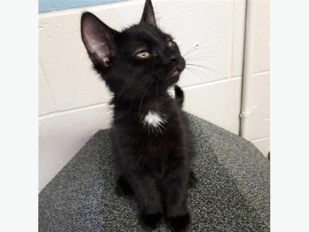 Cedar - Domestic Medium Hair Kitten