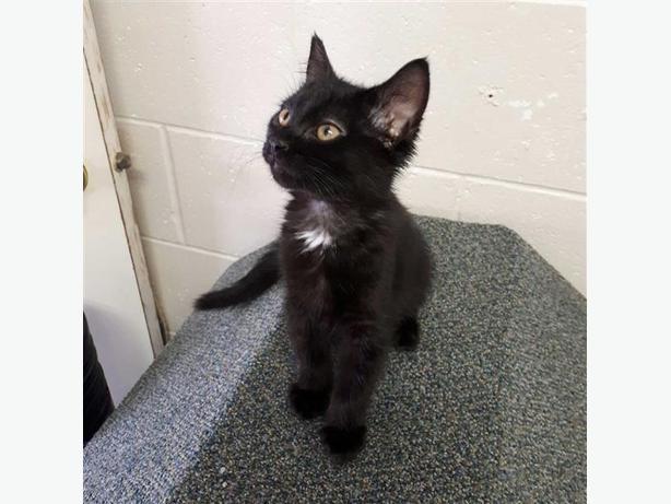 Maple - Domestic Medium Hair Kitten