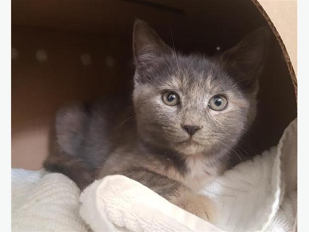 Waffles - Domestic Short Hair Kitten