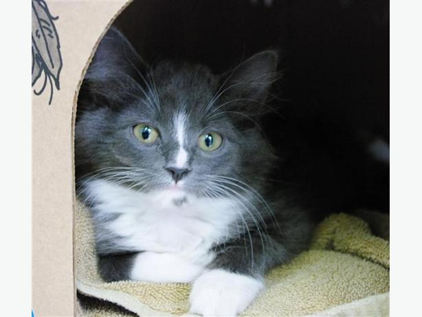 Ocean-Pending Adoption - Domestic Medium Hair Kitten