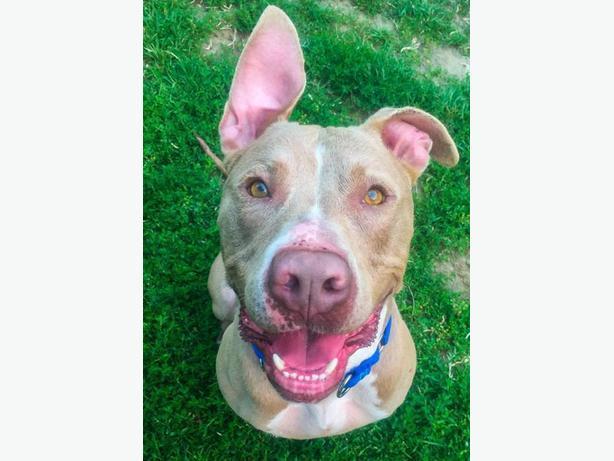 Vader - Pit Bull Terrier Dog