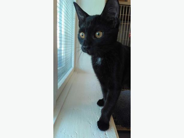 Pv Road (cleo) - Domestic Short Hair Cat