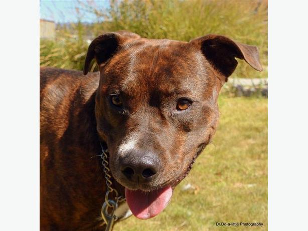 Paisley - Pit Bull Terrier Dog