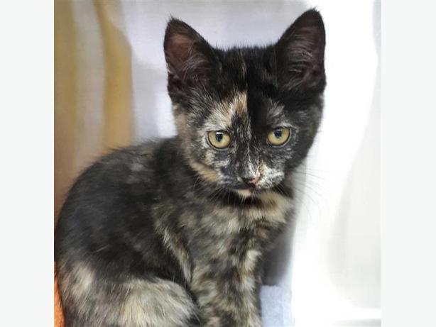Baby - Domestic Medium Hair Kitten