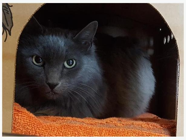 Charles - Domestic Medium Hair Cat
