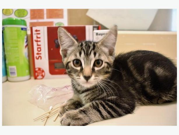 Stitch - Domestic Short Hair Kitten
