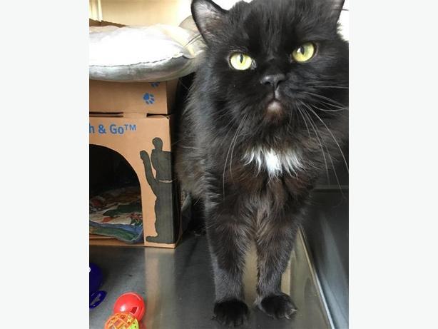Rascal - Domestic Medium Hair Cat