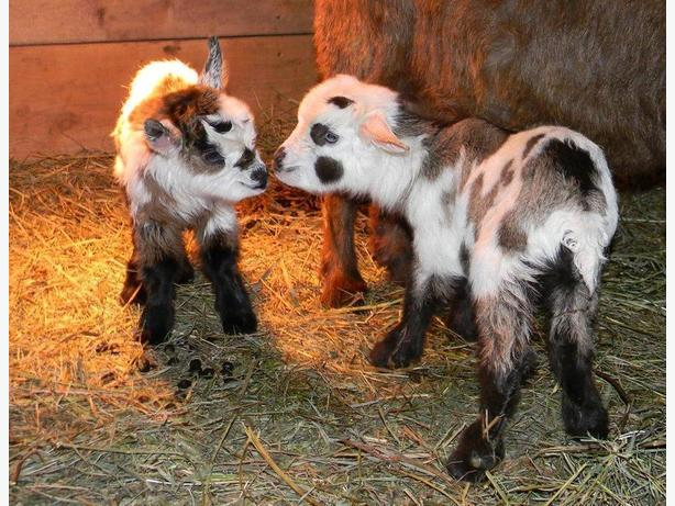 Registered Myotonic Goats - Rare Breeding Stock Opportunity