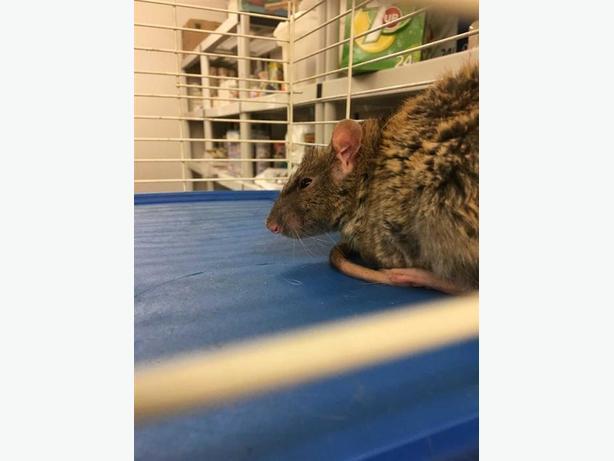 Mars - Rat Small Animal