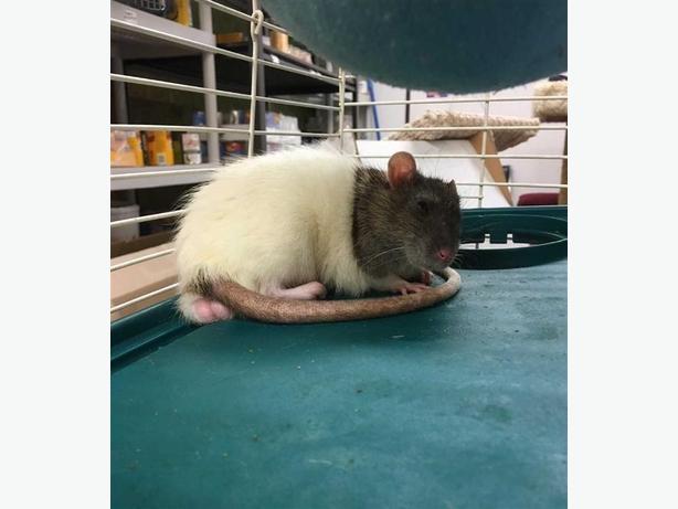 Pluto - Rat Small Animal