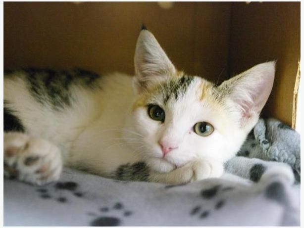 Irene - Domestic Short Hair Kitten