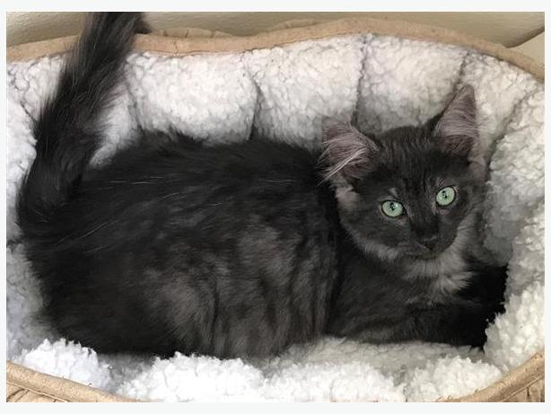 La Rue - Domestic Medium Hair Kitten