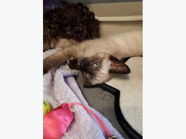 Coco - Siamese Kitten