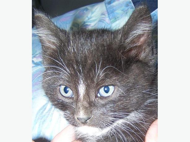 Oreo - Domestic Short Hair Kitten
