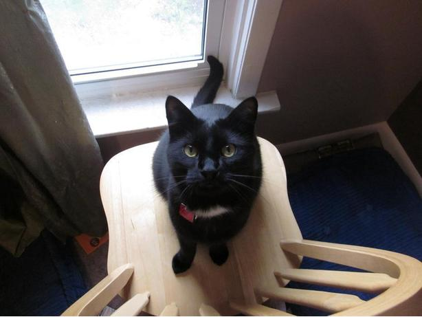 Male Adult Cat - Free to good home - must be only pet!