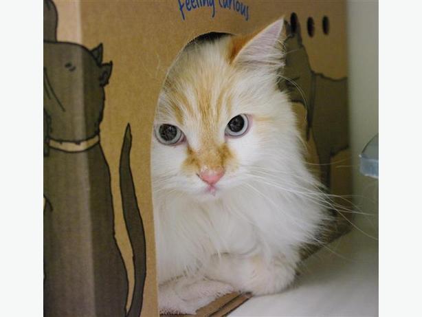Hamlet - Domestic Longhair Cat