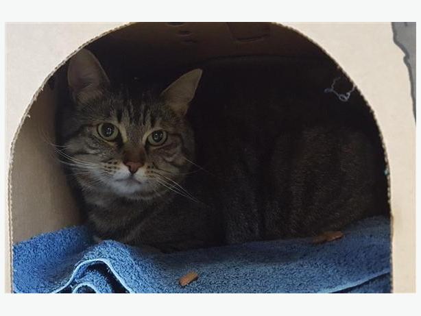 Boo - Domestic Short Hair Cat