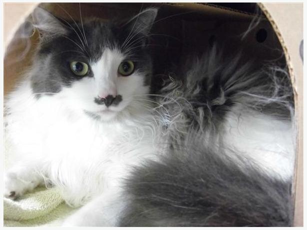 Tika - Domestic Medium Hair Cat