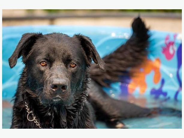 Gunner - Labrador Retriever Dog