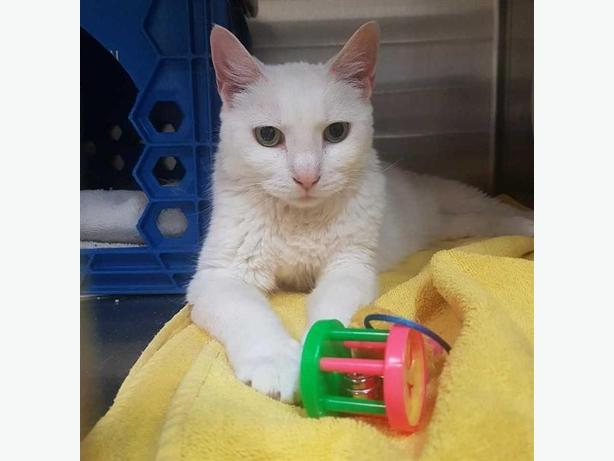 Cotton - Domestic Short Hair Cat