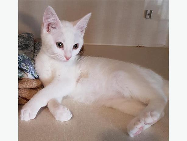 Polar - Domestic Short Hair Kitten