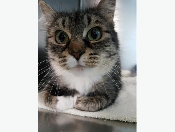 Winnie - Domestic Medium Hair Cat