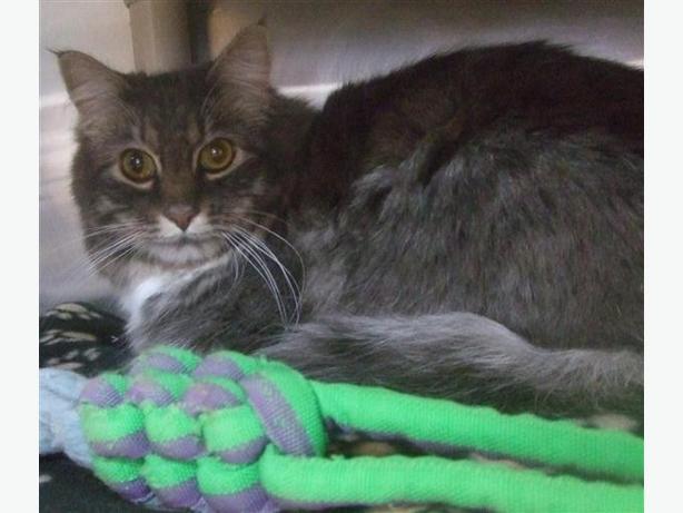 Mr Kat - Domestic Medium Hair Cat
