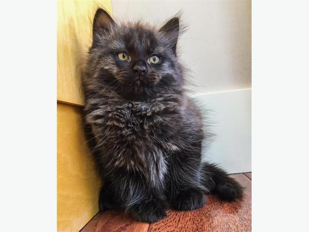 Charlie - Domestic Longhair Kitten