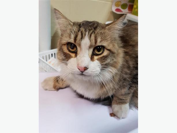Reginald - Domestic Medium Hair Cat