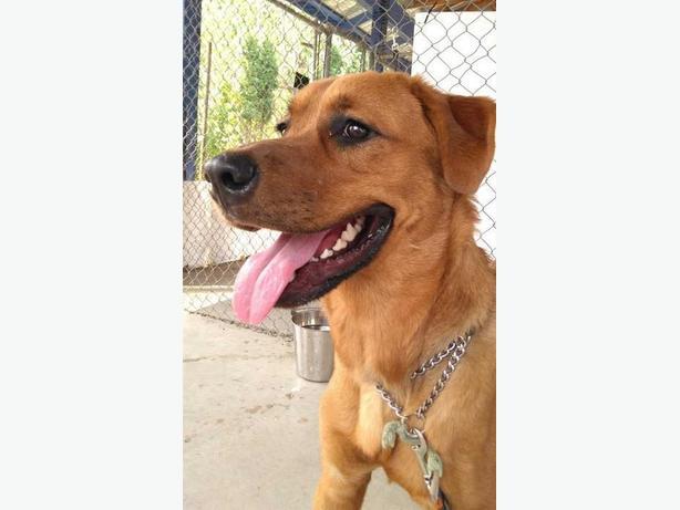 Ross - Labrador Retriever Dog