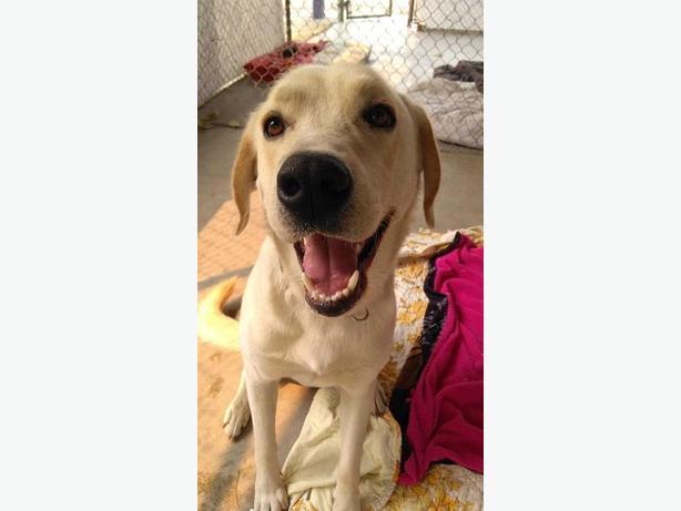 Marsh (mellow) - Akbash Dog