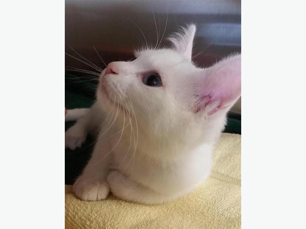 Bunny - Manx Kitten