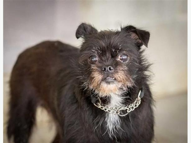 Bambi - Brussels Griffon Dog