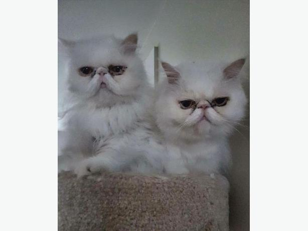 2 Pure White Persians