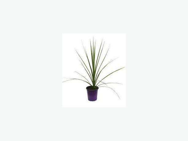 Dracaena plants - indoor or outdoor
