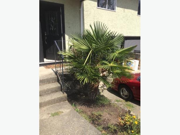 6' Palm tree