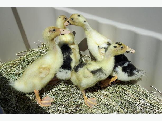 Ancona Ducklings