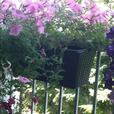Balcony Planter with Flowering  Petunias