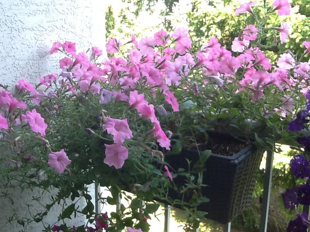 Balcony Planter with Flowering  Petunias