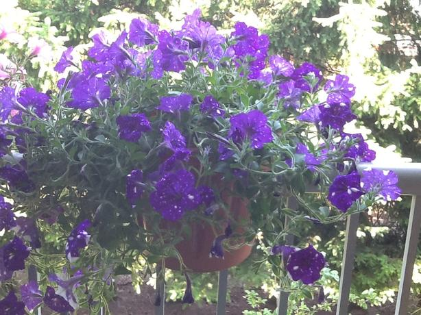 Midnight Star Petunias in Balcony container