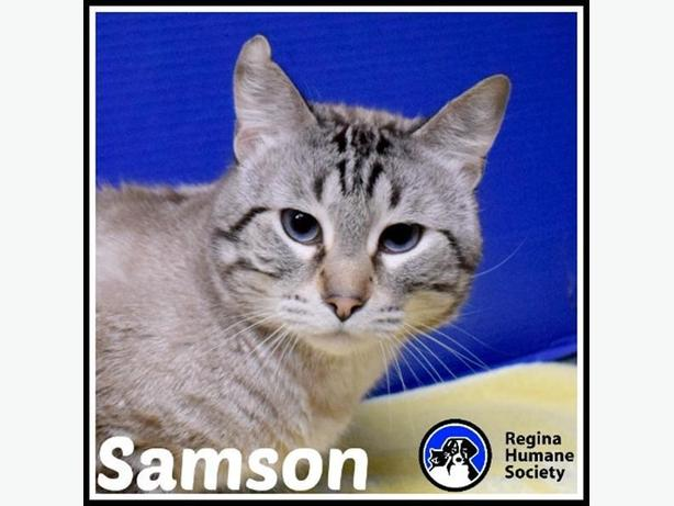 Samson* - Domestic Short Hair Cat
