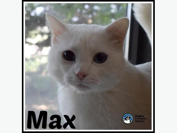 Max - Domestic Short Hair Cat