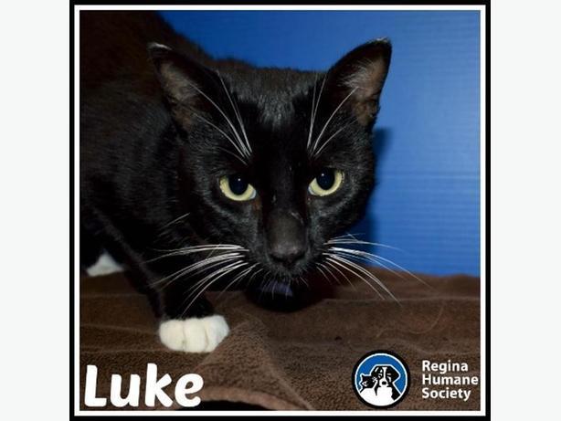 Luke* - Domestic Short Hair Cat