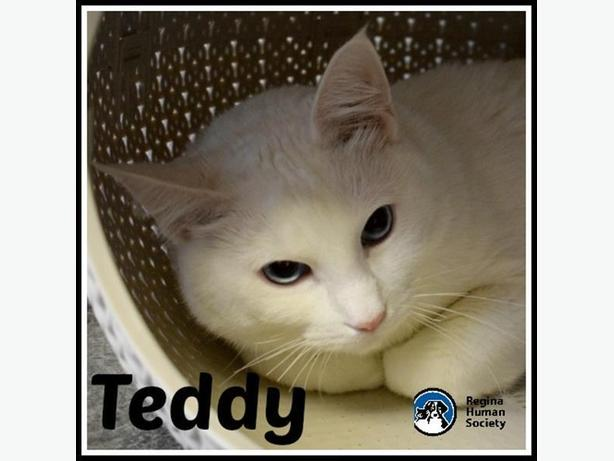 Teddy - Domestic Short Hair Cat