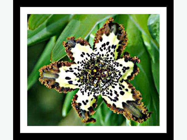 """RARE PLANT - ferraria crispa """"starfish iris"""